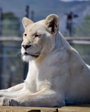 panthera-africa-pride-lei-ah