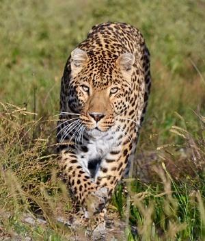 panthera-africa-pride-sheeba