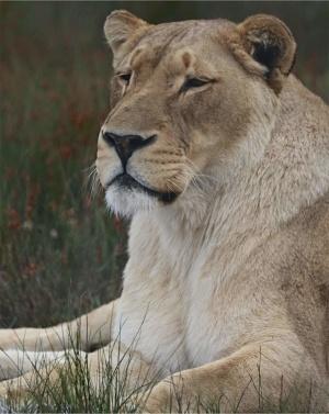 panthera-africa-pride-achilles