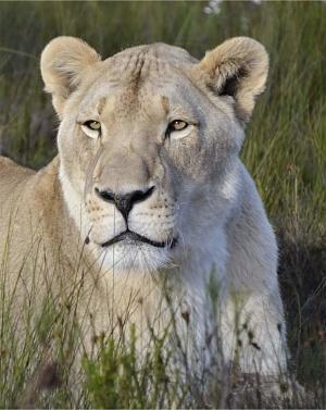 panthera-africa-pride-jubatus