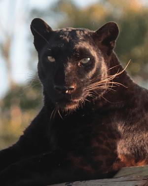 panthera-africa-pride-pardus