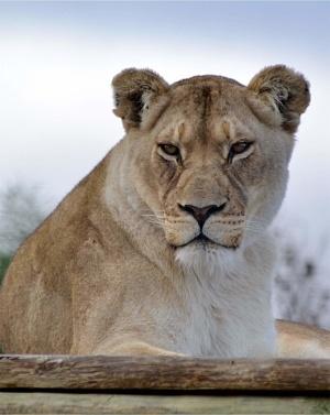 panthera-africa-pride-zakara