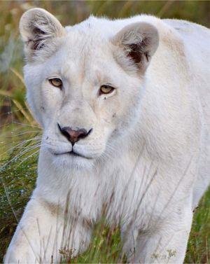 panthera-africa-pride-elsa