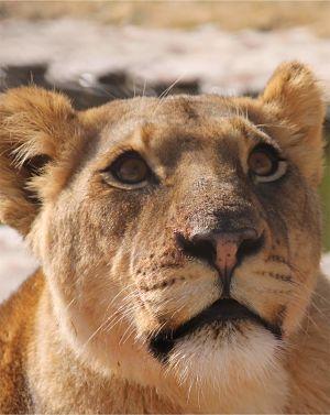 panthera-africa-pride-shani