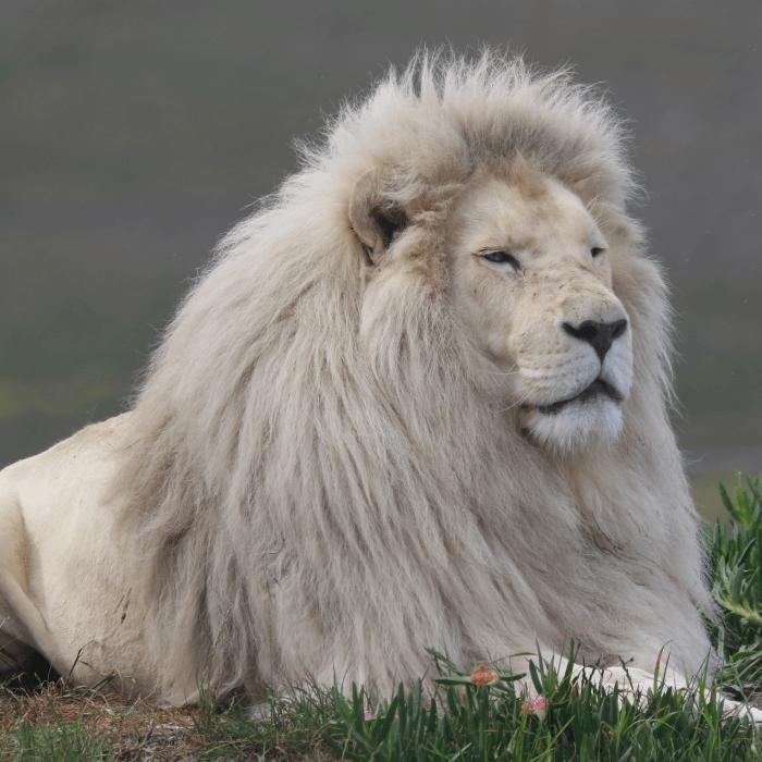 panthera-africa-pride-lions