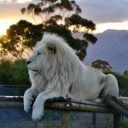 White lion Oliver at Sunset