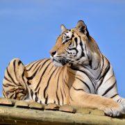 A tiger named